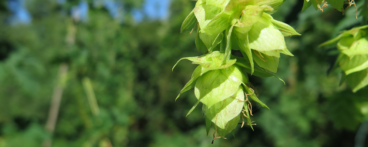 Hops at the Baxendale family estate, Golden Bay (March 2016)
